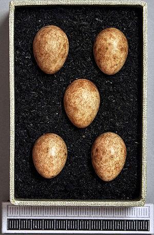 Eurasian blackcap - Eggs, Collection Museum Wiesbaden, Germany