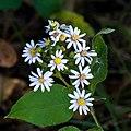 Symphyotrichum drummondii 2491636.jpg