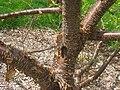 Syringa pekinensis 'Morton', Arnold Arboretum - IMG 5970.JPG