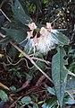 Syzygium Munronii 13.JPG