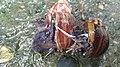 TW Lissachatina fulica1.jpg