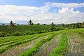 Tabanan-Regency Indonesia Rice-paddies-05.jpg