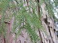 Taiwania cryptomerioides2.jpg