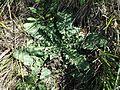 Taraxacum serotinum sl1.jpg