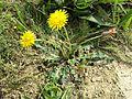 Taraxacum serotinum sl18.jpg