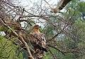 Tawny Eagle (Aquila rapax) (11755940205).jpg