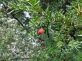 Taxus baccata.001 - Bath.jpg