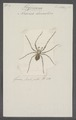 Tegenaria - Print - Iconographia Zoologica - Special Collections University of Amsterdam - UBAINV0274 068 05 0002.tif