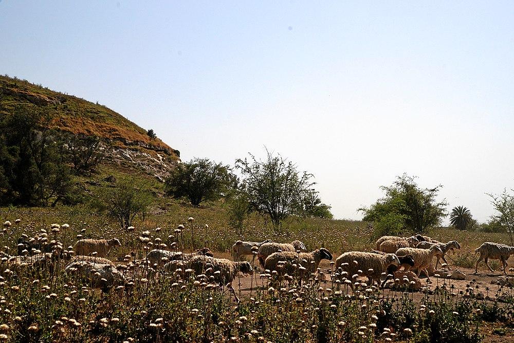 Tel-gath-tel-tsafit-schafherde-a