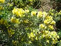 Teline linifolia2.jpg