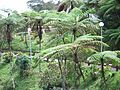 Temperate trees kinabalu.JPG