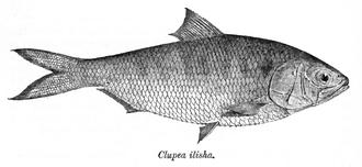 Tenualosa - Tenualosa ilisha