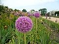 Terra Botanica - Allium giganteum Reg 01.jpg