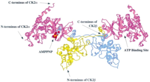 Casein kinase 2 - Ribbon structure of CK2 tetramer containing two α and two β subunits