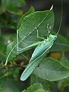Tettigonia viridissima m2.JPG