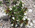Teucrium montanum PID1713-3.jpg