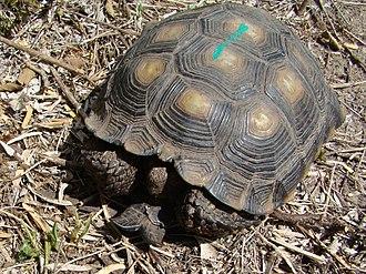 Texas tortoise - Image: Texas Tortoise Beeville TX June 2011