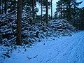 Texel - De Dennen - Heidvlakweg - Winterview NW on Leftover after Forest-Thinning.jpg