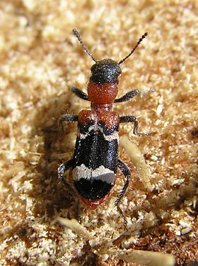 Thanasimus formicarius 2 bialowieza forest beentree.jpg