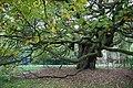 The Allerton Oak, Calderstones Park (geograph 4708906).jpg