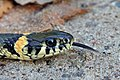 The Grass Snake - Natrix natrix.jpg