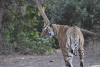 Sariska Tiger Reserve - Tiger in the Sariska Tiger Reserve. The collar around its neck is used to track and monitor it.