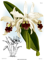 The Orchid Album-01-0092-0030-Laelia elegans alba.png