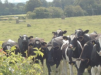English: The Twelve Apostles (not the cows, th...