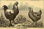 The amateur's manual; or, Specific mating of thoroughbred fowls (1877) (17489637243).jpg