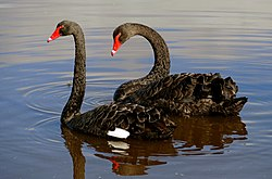The black swan (Cygnus atratus) (33064803230).jpg