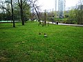 The couple of ducks at Chermyanka valley park in Bibirevo 20210503 131851.jpg