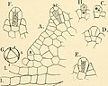 The structure and development of the mosses and ferns (Archegoniatae) (1895) (14591219830).jpg