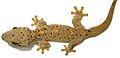 Thecadactylus oskrobapreinorum - ZooKeys-118-097-g004-d.jpg