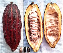 Theobroma cacao - fruit, from inside, beans.jpg