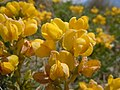 Thermopsis rhombifolia (5156203887).jpg