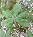 This is red buckeye, right?.jpg