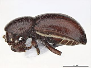 <i>Thorictodes</i> genus of insects