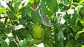 Thraupis sayaca feeding on guavas (2836764582).jpg