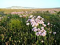 Thrift on Chesil Beach - geograph.org.uk - 1325711.jpg