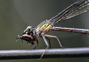 Odonata - with prey
