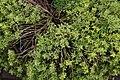 Thymus praecox Highland Cream 3zz.jpg