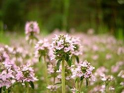 Thymus vulgaris 54555.jpg