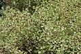 Thymus x citriodorus Variegatus 0zz.jpg