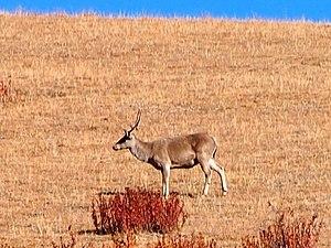 Tibetan red deer - Image: Tibetan red deer
