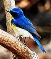 Tickell's Blue Flycatcher Cyornis tickelliae by Dr. Raju Kasambe DSCN0543 (3).jpg