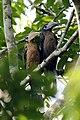 Tickell's brown hornbill (33419252811).jpg