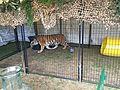 Tiger at Rose Festival CityFair.jpg