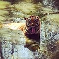 Tiger safari At national park mumbai.jpg