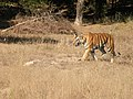 Tigress walking out of a bamboo grove in Sidbhaba grassland AJTJohnsingh DSCN0572.jpg