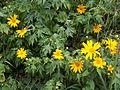 Tithonia diversifolia.JPG